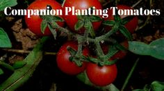 Tomato Growing Companion Companion Planting Tomatoes - If you are growing tomatoes and want to get the best from growing organically, then companion planting tomatoes is the only post you need. Tomato Companion Plants, Tomato Plants, Companion Planting, Growing Carrots, Growing Seeds, Growing Tomatoes, Planting Spinach, Tomato Benefits, Gooseberry Bush