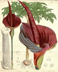 Konjac ~ It is a perennial plant, growing from a large corm up to 25 cm in diameter. The single leaf is up to m across, bipinnate, and divided into numerous leaflets. The flowers are produced on a spathe enclosed by a dark purple spadix up to 55 cm long. Botanical Drawings, Botanical Illustration, Botanical Prints, Corpse Flower, Illustration Botanique, Missouri Botanical Garden, Purple Flowers, Flora, Palm