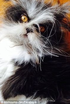 Atchoum the cat takes the internet by storm with his terrifying, soul-piercing gaze | Daily Mail Online
