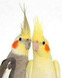 Life With Parrots: The Unsung Heroes of the Parrot World - Cockatiels (Part Two)