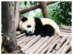 baby_panda_by_dektan.jpg (1200×900)