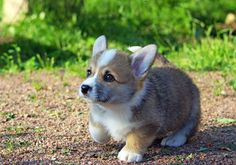 Cute Corgi puppy! Absolutely precious.....See more Corgi pictures, cartoons, videos and Corgi pet supplies by Liking us on Facebook at facebook.com/corgiscrapbook