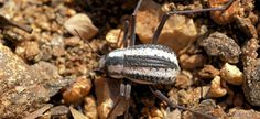A Racing Stripe Darkling Beetle has surface structure harvesting water vapor from fog.