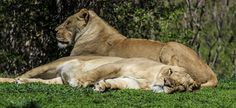 Lions by MonkeyScarGraphics on Etsy #photography #poster #decor #beautiful