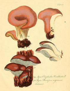 fungi by BioDivLibrary, via Flickr