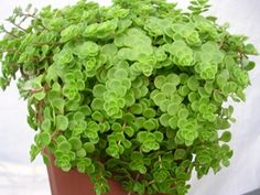 A carpeting variety of Stonecrop, especially useful in hot sunny sites. The small rounded deep-gr...
