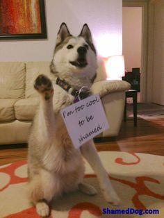 dog shaming: I'm too cool to be shamed.