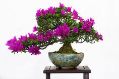 Azalea Bonsai - Discover Tips and Secrets For Growing