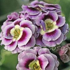 Free shipping 100 pcs rare european primrose seeds flower Primrose seed,Primula malacoides,planting seasons
