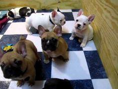 French Bulldog Puppies @7 weeks