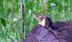 Photo by Phil Scheen Chipmunks, Wilderness, Worlds Largest, Colorado, Photographs, Around The Worlds, Photo And Video, Mountains, Places