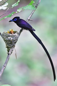 Black Paradise Flycatcher by Young Sung Bae on 500px