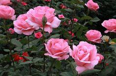 Pink rose Flower Bush Flower Seeds Garden Flower by Greenworld1