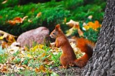 Native red squirrels have declined throughout Britain and Ireland for the last century due to a combination of habitat loss and the introduction of the North American eastern grey squirrel. But more recently its few remaining populations have been devastated by an insidious pox virus passed to them by the alien invaders. A new study has found the situation may be worse than previously thought, as the disease appears to have multiple modes of potential transmission.