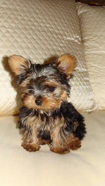 Tiny AKC Yorkshire Terrier Puppy Female.... Love