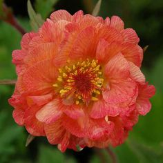 Apricot Blossom, Orange Blossom, Back Gardens, Outdoor Gardens, Geum Jan Di, Ji Hoo, Low Water Landscaping, Chicago Botanic Garden, White Flower Farm