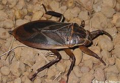 Epow Ecology Picture Of The Week African Giant Water Bug