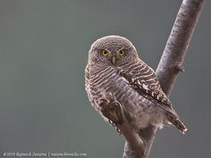 Asian Barred Owlet (Glaucidium cuculoides). Photo by Rajneesh Suvarna.