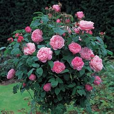 'Mary Rose' | Shrub. English Standard Roses. David C. H. Austin, 1983