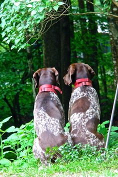 Do you think they will find us here?.... German Shorthaired Pointers