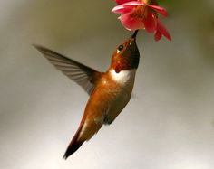 Rufous Hummingbird (Selasphorus rufus) Male feeding from Flowering Quince