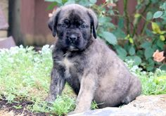"The breed is commonly referred to as the ""Mastiff"". Also known as the English Mastiff this giant dog breed gets known for its splendid, good natu British Mastiff, English Mastiff Puppies, Mastiff Breeds, Mastiff Dogs, Giant Dog Breeds, Giant Dogs, Mastiff Puppies For Sale, Dogs And Puppies, Wallpaper English"