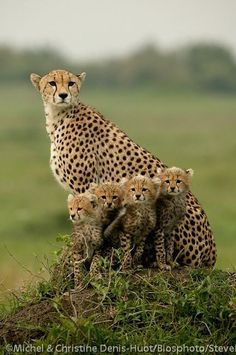 Cheetah family. Statistically maybe one cub will live. Cute right? Wake up call. http://cheetah.org/you-can-help/