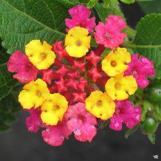 Lantana — Green Acres Nursery & Supply Attracting Bees, Plants, Attract Butterflies, Lantana, Showy Flowers, How To Attract Birds, How To Attract Hummingbirds, Perennials, Lantana Plant