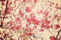Nature Photography Red Winter Berries by LisaBonowiczPhotos