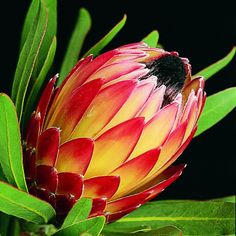 Protea Red Magic - Protea - Proteas and Leucadendrons - Flowers by category Protea Art, Protea Flower, Exotic Flowers, Pink Flowers, Beautiful Flowers, Possum Magic, Garden Express, Fertilizer For Plants, Australian Garden