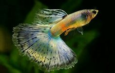 colorfull guppies