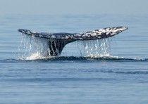 Dopo scontri con attivisti Giappone chiude caccia alle balene