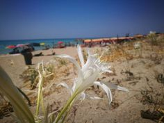 Szinte hihetetlen, ahogy a forró tengerparti homokot a fehér virágok százai beborítják. http://balkonada.cafeblog.hu/2017/08/14/homokos-tengerpartok-hihetetlen-csodaja-tengerparti-liliom/