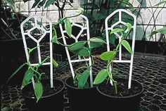 Vanilla Beans/Pods from Vanilla Plantations Of Australia - Vanilla Beans Cultivation/How to grow vanilla Organically Grown Tahitian and Bourbon Vanilla Beans Vanilla Plant, Vanilla Orchid, Edible Garden, Easy Garden, Garden Ideas, Grow Vanilla Beans, Bean Pods, Bean Plant, Orchid Care