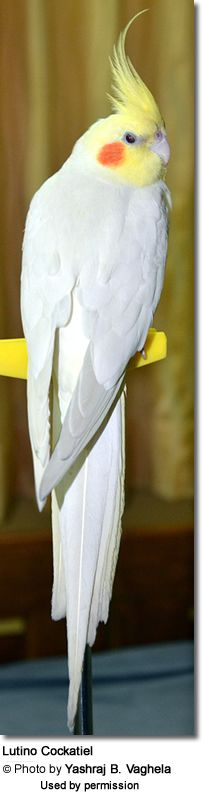 Albino Cockatiel ~ such happy birds! I used to have many!! all colors, grey , white , pearly pied..