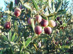 Olives Bouteillan