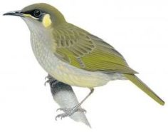 Yellow-spotted Honeyeater (Meliphaga notata)