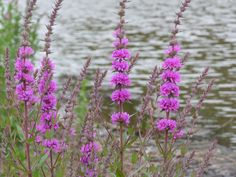 These flowers caught my eye (I think they are called Purple Loosestrife – I know they are PINK lol!) but the ripples on the river behind I felt added something to the picture. Click on the pi…