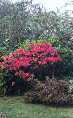 Edinburgh rhododendron and azaleas in my garden (Wil 2026)