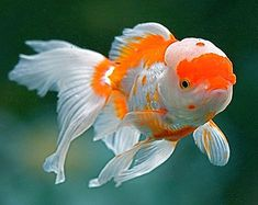 """Orange and white lionhead oranda. True lionheads have no dorsal fin (on top) and the """"full hood"""" that covers the top and sides of the face evenly. Lionhead orandas do have a dorsal fin and the cap or """"wen"""" is mostly on top, not the sides. The most frequent color is orange or orange and white, though they come in every possible goldfish color."""