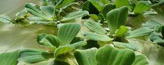 Plantas que filtram a água - Como devem ser utilizadas! Algumas plantas têm o poder de limpar solos contaminados e águas cinzas ou contaminadas. A nível caseiro, o cultivo das plantas em tanques para limpeza e oxigenação sas águas cinzas poderá propiciar recanto paisagístico agradável, que podem agregar maior valor à propr... - http://www.precofacil.com/ecoblog/2017/01/22/plantas-que-filtram-a-agua/