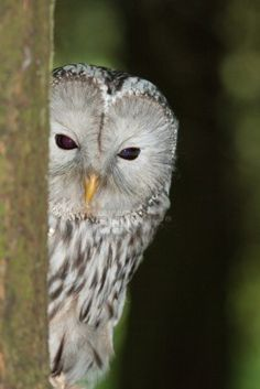 Ural Owl Stock Photo-Charles Masters