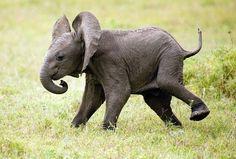 Cute Baby Elephant Shaking a Leg Cute Baby Elephant, Cute Baby Animals, Animals And Pets, Wild Animals, Happy Elephant, Flying Elephant, Small Elephant, All About Elephants, Save The Elephants