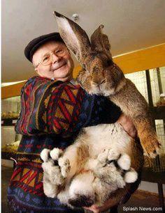 The mighty bunny weighs a massive 7.7kg, and his ears are a lengthy 21cm - almost as long as most pet rabbits are tall. And he is almost 1m tall.  El conejito poderoso pesa una masiva 7,7 kg, y sus orejas son un largo 21 cm - casi como conejos mascotas la mayoría son altos. Y es casi 1 m de altura.