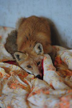 Red Fox by foxsvir