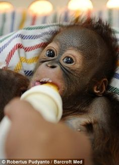Say hello to Rizki, the tiny nappy-wearing orangutan who is hand-reared on milk and mashed banana after his mother rejected him at birth Monkey See Monkey Do, Ape Monkey, Zoo Animals, Cute Baby Animals, Baby Orangutan, Primates, Kinds Of People, Say Hello, Cute Babies