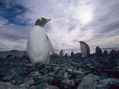 Gentoo Penguin in Antarctica   - Explore the World with Travel Nerd Nici, one Country at a Time. http://TravelNerdNici.com