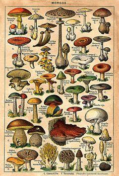 Vintage mushroom drawings by kjc_at_home, via Flickr