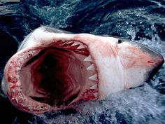 Great White Shark...give me one good reason why I should swim in the ocean.