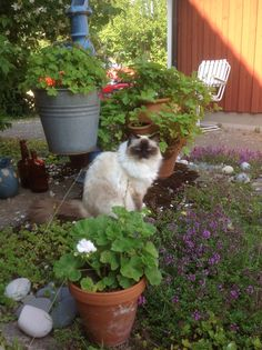 Our lovely Ragdoll Havanna. Jennysvitavillervalla.blogspot.se